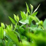 Cách làm tinh dầu trà xanh chăm sóc da hiệu quả tại nhà – Tinh dầu và thảo mộc GT