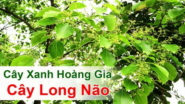 Tinh dầu Long Não GT chiết xuất 100% từ cây long não tự nhiên