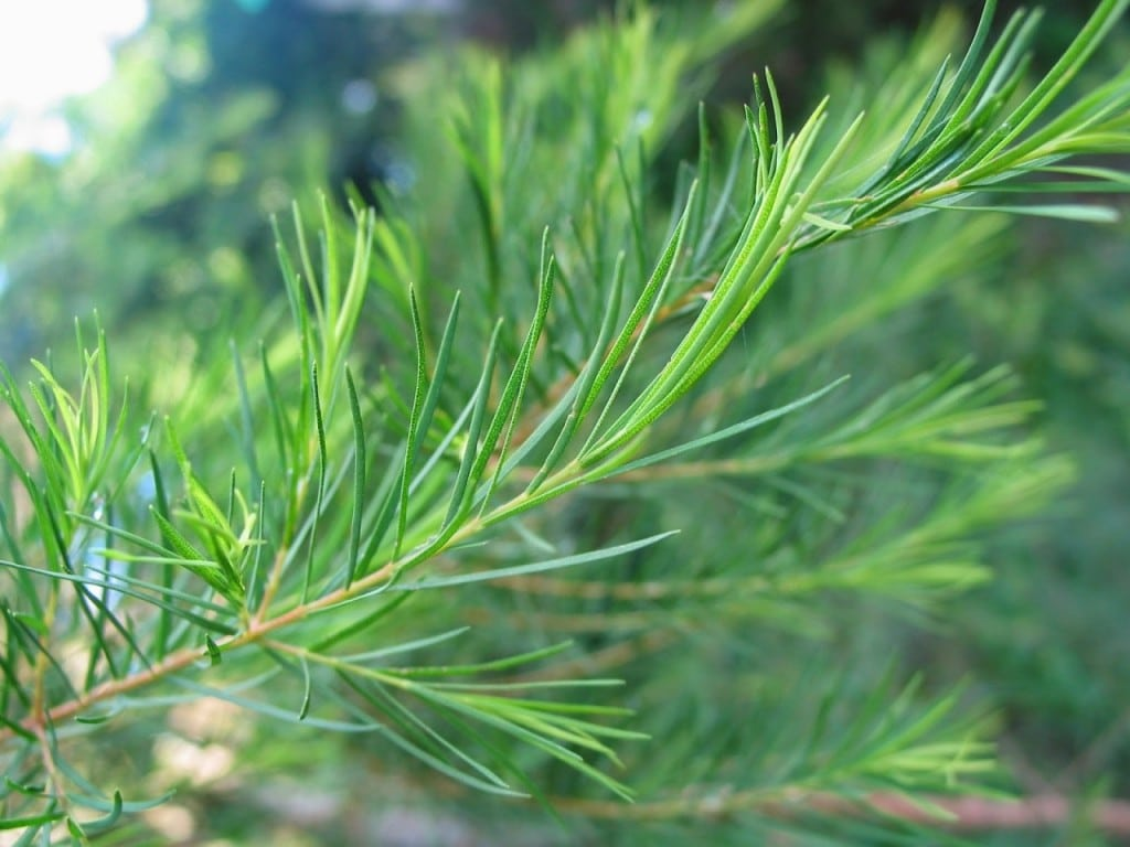 Cây Tràm Trà của Úc dùng chiết xuất tinh dầu Tràm Trà có tác dụng trị mụn cực tốt