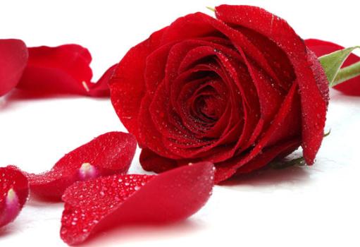 Tinh dầu hoa hồng GT được chiết xuất 100% từ cánh hoa hồng tự nhiên