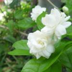 Tinh dầu hoa nhài GT được chiết xuất 100% từ cánh hoa nhài tự nhiên bằng phương pháp chưng cất hơi nước