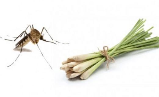 Tinh dầu sả có khả năng đuổi muỗi cực tốt được nhiều người yêu thích sử dụng bởi độ an toàn tự nhiên