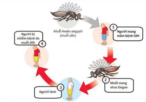 Bệnh sốt xuất huyết do muỗi vằn lây truyền từ người này sang người khác