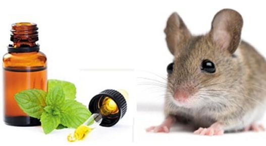 Bạc Hà có tác dụng đuổi chuột cực tốt